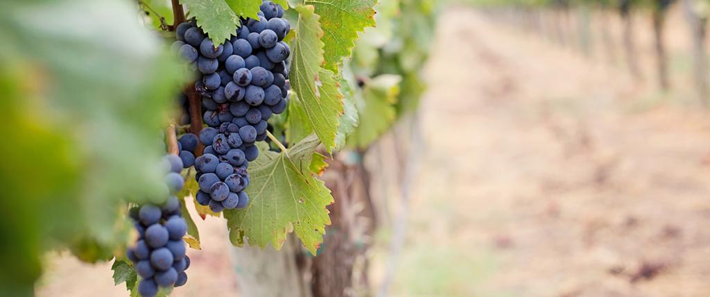 Uvas da região do Dão