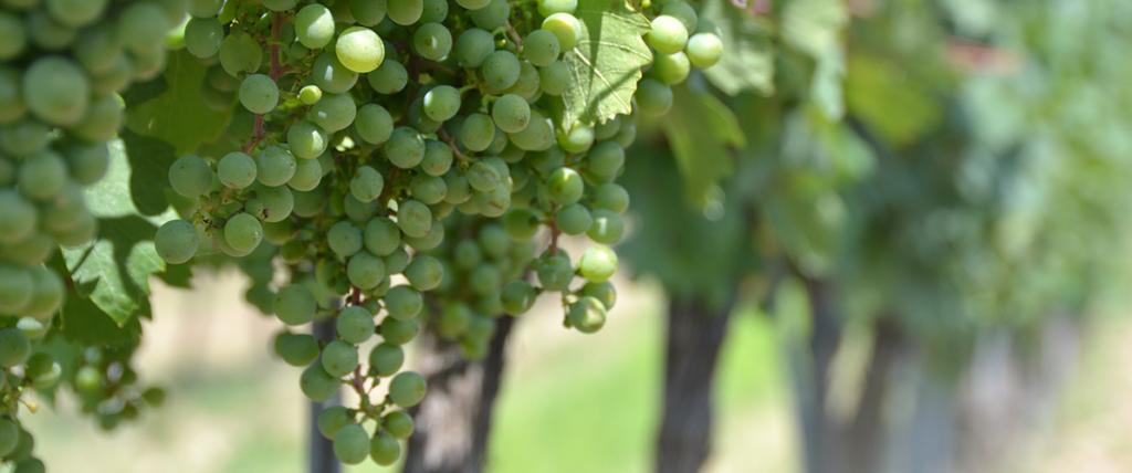 uvas da região dos vinhos verdes